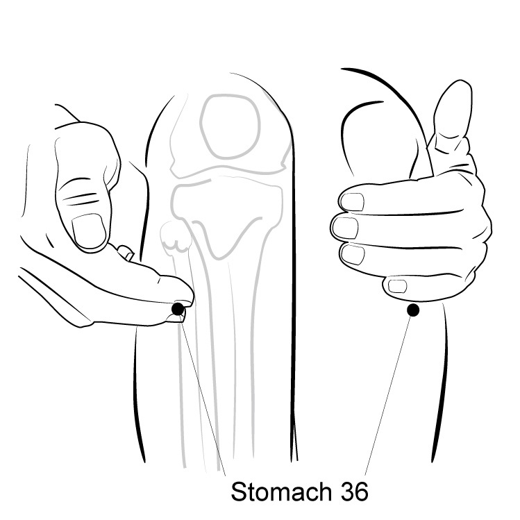 Stomach 36 - The Most Popular Acupuncture Point ...